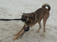 2013-06-04 Casitas Kinsol dogs at the beach - Puerto Morelos - Quintana Roo - Mexico (21) (Alain Berthelot) Tags: dog storm beach dogs rain june fun puerto juin andrea taxi beaches tropical nena plage rains between morelos morales plages 2013 moralos