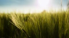 Gerstenfeld (byteorder) Tags: plant field barley landscape pflanze feld environment landschaft umwelt gerste