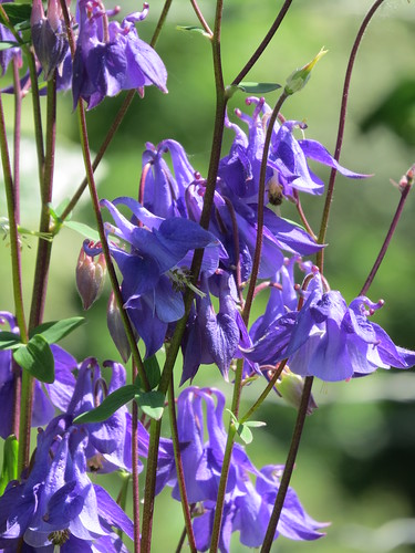Thursday Flower - Aquilegia