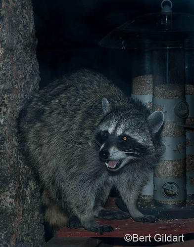 Racoon (3 of 6)