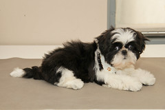 Puppy freshly groomed (Candee_nl) Tags: white black puppy groom shihtzu fluffy grooming