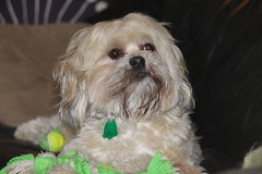IMG_8797 (bbbribooth) Tags: dog pet canada cute animal puppy shihtzu shorkie