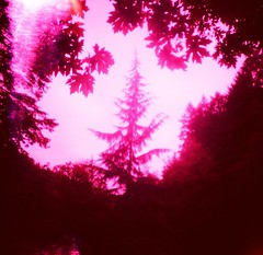 Radiant Spire (liquidnight) Tags: pink trees red colour film nature leaves oregon analog mediumformat portland lost lomo xpro lomography crossprocessed fuji hiking vibrant toycamera dream magenta fuchsia silhouettes illuminated spire lightleak diana evergreen fir pacificnorthwest pdx dreamy tungsten analogue wilderness damaged expired dianaf fujichrome pnw radiant forestpark redshift t64