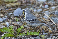 Yellow-throated Warbler-2 (carolyn747) Tags: nature birds woods wildlife wv warblers yellowthroatedwarbler