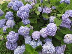 Happy Father's Day (karma (Karen)) Tags: flowers home maryland baltimore bushes hydrangeas