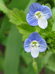 Speedwell (lady.bracknell) Tags: blue flower macro nature wildflower speedwell