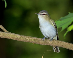 Red-eyed Vireo Posing For Me (Bob the Birdman and All Around Nature Guy) Tags: bird nature wildlife vireo redeyedvireo vireoolivaceus naturetreasures robertmiesner bobthebirdman