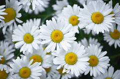 White Diasies Bunch 2 of 3 (Orbmiser) Tags: flowers oregon daisies portland spring nikon bunch daisy d90 55200vr