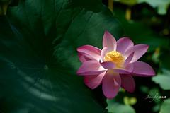 Lotus   (Jennifer ) Tags: morning flowers light sun flower macro rain lights flora nikon lotus taiwan taipei    tombo  otus  d4 inthemorning    lotusleaves        jennifer nikond4s nikkorafsvrii70200mmf28ged