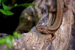 Lizard. (Momi ) Tags: wild brown verde green animal foglie forest wildlife lizard foglia sole freddo occhio animali animale sangue marrone lucertola zampe rettile squame sanguefreddo