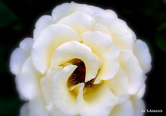 White Beauty! (Spiro Anassis) Tags: park ontario canada art sony contacts visualart masterpieces creativeimagery ysplix sanassis mygearandme