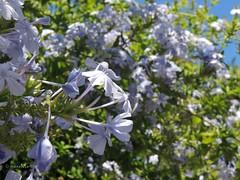 Blue as the sky (massMartine) Tags: flowers blu fiori fiore azzurro plumbago auriculata flowe gelsomino plumbagoauriculata