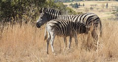 Zebra Mother and Baby (F14 FireFly) Tags: nature reserve zebra groenkloof
