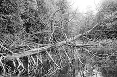 Dead tree, Desert Lake, Ontario (Richard Wintle) Tags: bw ontario canada film monochrome 35mm minolta iso400 400 himatic 135 premium 45mm frontenac desertlake f17 arista rokkorpf himatic11 southfrontenac