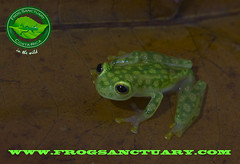 VALEROI (frog.sanctuary) Tags: wild costa tree verde glass rain animal night forest river rainforest heaven tour natural selva dry toads rica frog oasis bosque wetlands tropical poison sapos ponds silvestre dart sanctuary arenal guided lluvioso reticulated ranas sarapiqui anura guía inbio tirimbina observación venenosas costarican hábitat hyalinobatrachium arborícolas valeroi