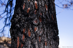 Mother Nature cries (Daniel Moreira) Tags: wood tree pine resin resina rvore madeira burned wildfire incndio pinheiro queimado