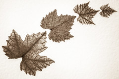 As The Leaves Echoed (carlthompson921) Tags: white macro art closeup flora fineart veins sepiatone textured photoshopelements oldpaper indoorphotography 500px sigma50mmexdgmacro lightroom5 sonya77v leaves500px