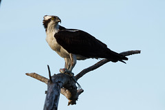Looking proud after a catch! (Kevin S Medeiros) Tags: fish bird dinner intense eyes relaxing osprey