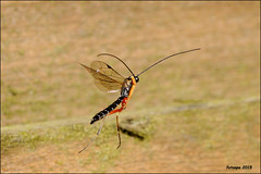 2D version L40_0262_2d (fotoopa) Tags: macro inflight 3d insects laser highspeed flyinginsects highspeedflash 3dphotography vliegende insectsinflight vliegend 3dmacro highspeedcapture picturesinflight highspeedmacro af10528dmicro fotoopa inflightinsects lasercontrol lasertriggered vliegendeinsecten laserdetection 3dinsects 3dinflight lasercamera flyinghighspeedinsects highspeedlaserdetector irlaserdetection multiplelaserdetection insectenfotografie vliegendebeestjes fotosvliegendeinsecten picturesinflightinsects