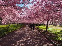 Forr i Kbenhavn / Spring in Copenhagen (:NFR:) Tags: pink spring forr tcf lyserd prunusserrulata bispebjergkirkegrd thechallengefactory japanskkirsebrtr
