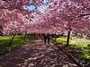 Forår i København / Spring in Copenhagen (:NFR:) Tags: pink spring forår tcf lyserød prunusserrulata bispebjergkirkegård thechallengefactory japanskkirsebærtræ