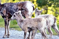 Bighorn Sheep Lambs (Banff National Park) (thor_mark ) Tags: trees day2 canada nature alberta lambs lateafternoon banffnationalpark bighornsheep molting canadianrockies roadsidestop project365 colorefexpro grassyarea lakeminnewankaloop lakeminnewankascenicdrive nikond800e capturenx2edited drivearoundlakeminnewanka