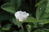 Potentilla montana, Berg-Fingerkraut, Blüte (julia_HalleFotoFan) Tags: rosaceae potentilla fingerkraut rosengewächs potentillamontana botanischergartenhalle bergfingerkraut