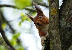 Chilling squirrel (BlizzardFoto) Tags: tree animal squirrel wildlife climbing puu chill loom orav elusloodus roniv