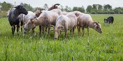 Mick With The Sheep (Bas Bloemsaat) Tags: dog spring sheep sheepdog bordercollie