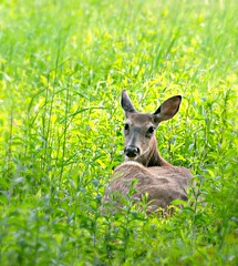 Doe Eyes (floralgal) Tags: nature field animal deer ryenewyork marshlandsconservancy