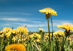 Dandy (Marty Bond) Tags: colour3 scavengerhunt dandelions sky