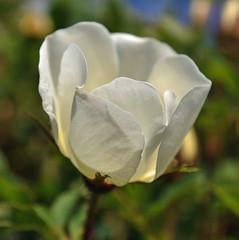 White Rose in May (littlestschnauzer) Tags: uk flowers roses white flower detail macro sunshine rose garden petals nikon pretty yorkshire may shrub pure emley d5000