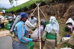 India - Kerala - Munnar - Tea Harvest - 185 (asienman) Tags: india mountains kerala hills teafactory teaplantation munnar teapicker asienmanphotography teaplantagens