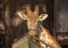 Zoo animals (series 3/9) (Marcos Jerlich) Tags: zoo animals giraffe saopaulo brazil colour portrait contrast texture light details canon november canont5i lightroom marcosjerlich
