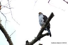 Bicolored Hawk (Accipiter bicolor) (Gmo_CR) Tags: coronado patiodeagua costarica accipiterbicolor bicoloredhawk gavilánbicolor