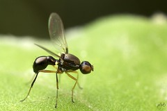 IMG_8014-2 (Jamil-Akhtar) Tags: canon6d canonmpe65mmf28 nature insect macro fly islamabad pakistan