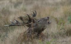 Antler adornement (Gowild@freeuk.com) Tags: parklife richmondpark reddeer rut stag animal wildlife nature outdoor mating ritual autimn london emgland uk british andrewmarshall nikon d4 photography