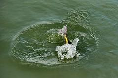 Quick, leg it! (sasastro) Tags: coot duck water ducksfoot