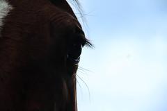 Cheval (mathilde-paretbarrois) Tags: cheval animal oeil cils marron