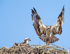 Osprey family - IMG_1823-1 (arvind agrawal) Tags: osprey raptor bitdofprey eagle fishhawk fisheagle wildlife bird nest fish