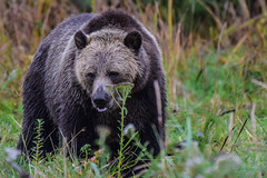 a stroll amongst the flowers (wesleybarr1962) Tags: grizzly grizzlybear