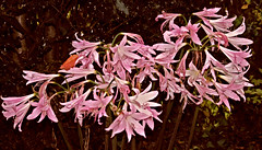Autumn Flowers near Arklow (murtphillips) Tags: flowers lovelane arklow autumn