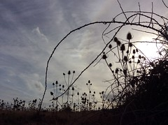teazels and brambles (annetownshend) Tags: sillhouette seedheads coast dunes marshes thorns blackberry