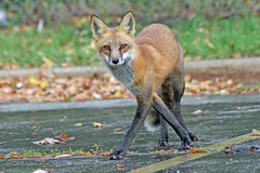 Tango Time (marylee.agnew) Tags: red fox canine dance elegant rain fall nature wildlife urban outdoor mammal animal
