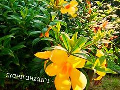 Allamanda Cathartica (Nur Syahirah Ahmad Zaini) Tags: warisansemulajadi bungaakarkuning allamandacathartica pasirputeh