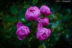 Regentropfen / Raindrops (R.O. - Fotografie) Tags: regentropfen raindrops raindrop rosen rose natur nature schrfeverlauf running focus outdoor panasonc limux dmcfz1000 dmc fz1000 fz 1000 blten blossoms
