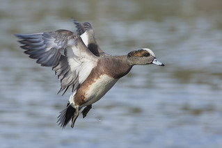Spread your wings- American Wigeon Style