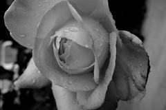Rose in B&W , 75219/7419 (roba66) Tags: blumen blume blten flower blossom roba66 fleur flori flor flora flores bloem plants pflanzen makro macro closeup blackwhite bw sw branco negro blackandwhite blancoenero blancoynegro monochrome byn bretoebranco einfarbig schwarzweis rose wassertropfen waterdrops
