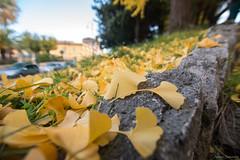 Ginko Biloba leaves (ambrasimonetti) Tags: ginko biloba leaves foglie gialle yellow saveearth