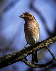 Purple Finch--4 (peter57117) Tags: finch finches purplefinch bird birds carpodacuspupureus